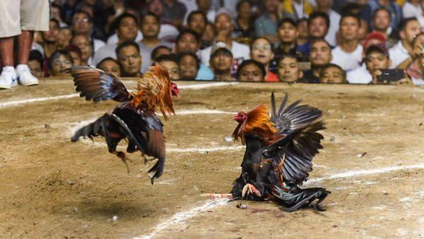 Judi Online Di Situs Sabung Ayam Sv388