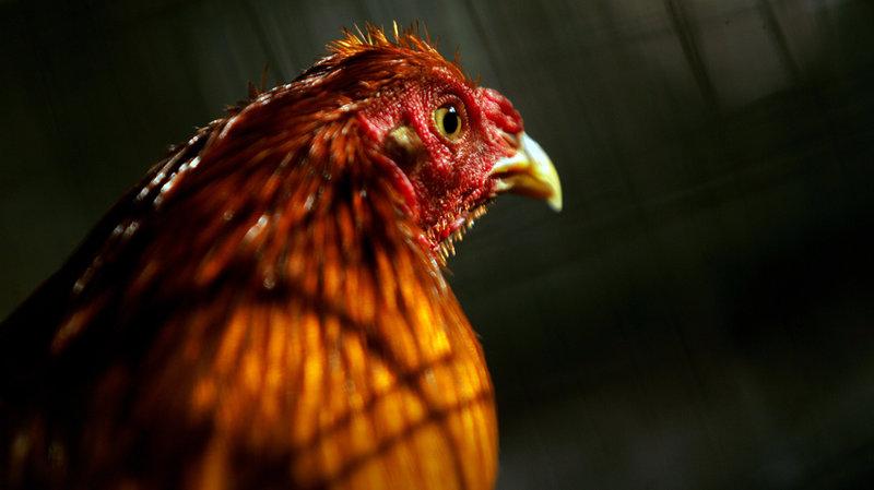 Ayam Jago yang Sehat