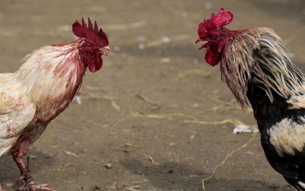 Makanan Yang Tepat Untuk Judi Sabung Ayam Di Situs S128
